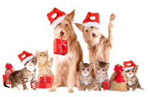 Group Of Animals with Santa hats and presents, isolatet